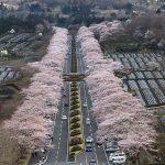 【blog】富士霊園の桜