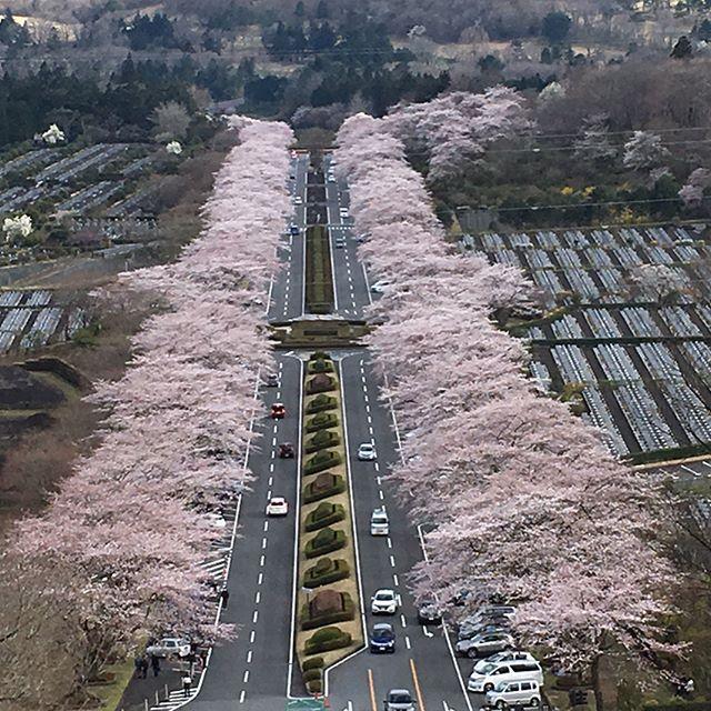 富士霊園の桜は今が見頃!でも全体像が上手く撮れるポイントがなかなか無いんだよね〜。